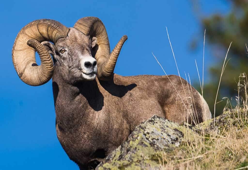 bighorn sheep WildEarth Guardians sam parks