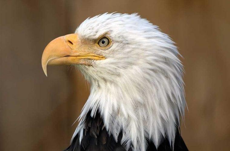 bald eagle wildearth guardians adobestock