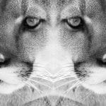 Cougar black white wild time WildEarth Guardians One Day Closer