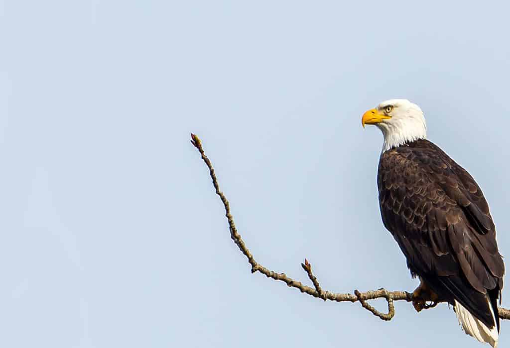 bald eagle endangered species act mick thompson flickr WildEarth Guardians