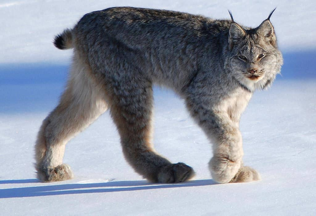 canada lynx keith williams WildEarth Guardians