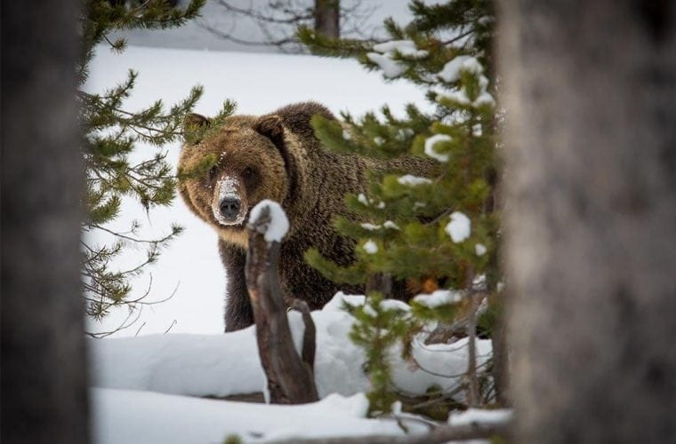 yellowstone grizzly flathead neal herbert flickr wildearth guardians