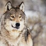wolf face image sam parks wildearth guardians