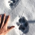 wolf prints madeleine carey wildearth guardians