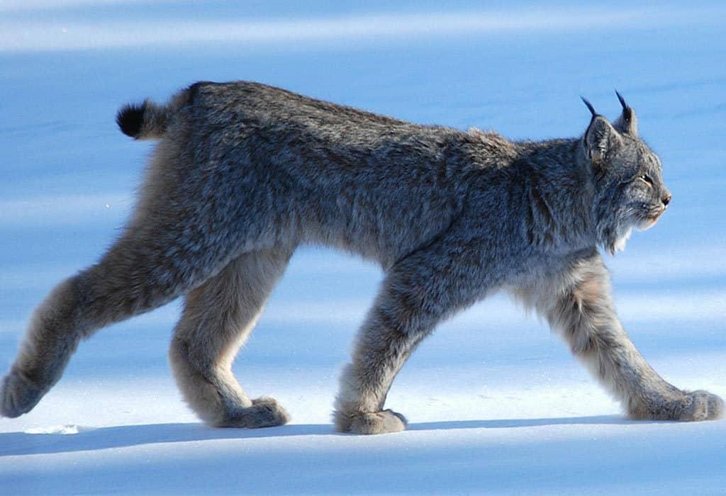 canada lynx keith williams wildearth guardians