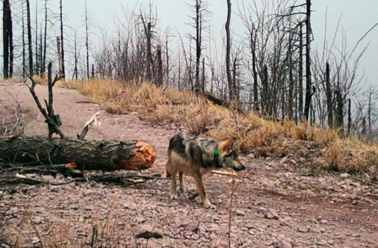 mexican wolf camera trap wildearth guardians
