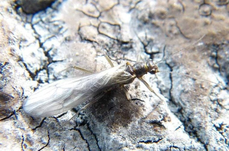 Stonefly wins Endangered Species Act protections, though protections limited