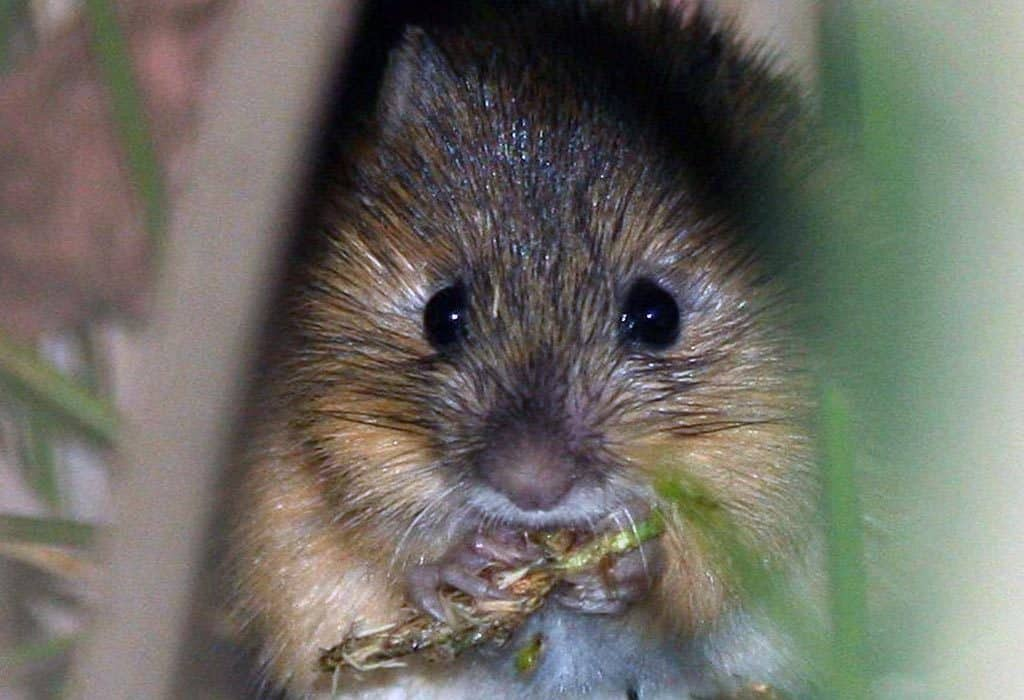 new mexico meadow jumping mouse extinction J.N. Stewart wildearth guardians