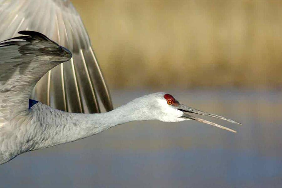 sandhill crane migration wildearth guardians