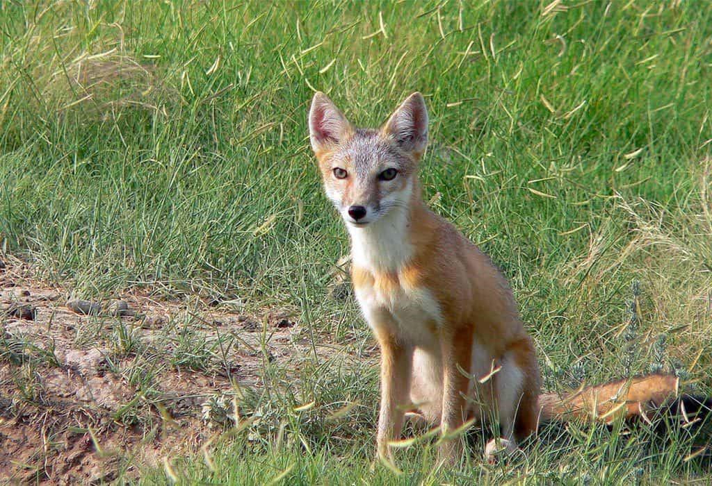 swift fox usfws wildearth guardians