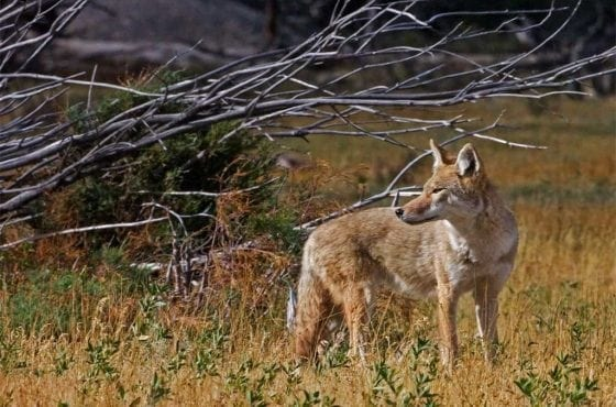 moraine coyote wildearth guardians