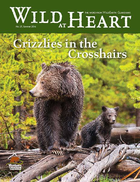 http://pdf.wildearthguardians.org/flowpaper/newsletter-25-summer-2016/