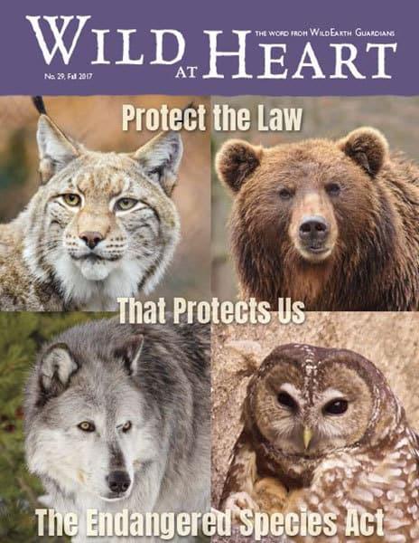 http://pdf.wildearthguardians.org/flowpaper/newsletter-29-fall-2017/