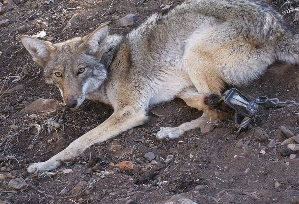 trapped coyote mary katherine ray wildearth guardians