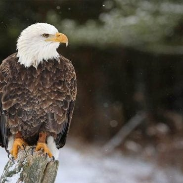 bald eagle istock wildearth guardians