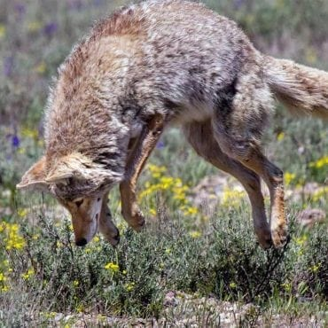 coyote pouncing fotolia wildearth guardians