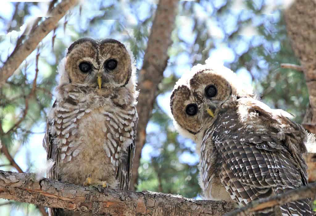 mexican spotted owls usfs wildearth guardians