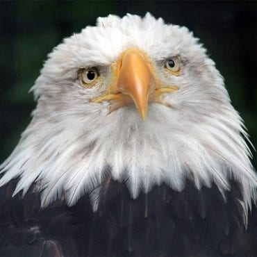 sad bald eagle dickdaniels wikimedia commons wildearth guardians