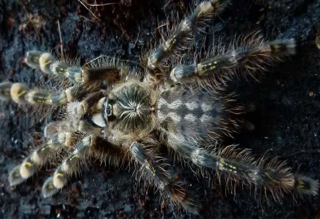 sri lankan spider pc pawel w wildearth guardians