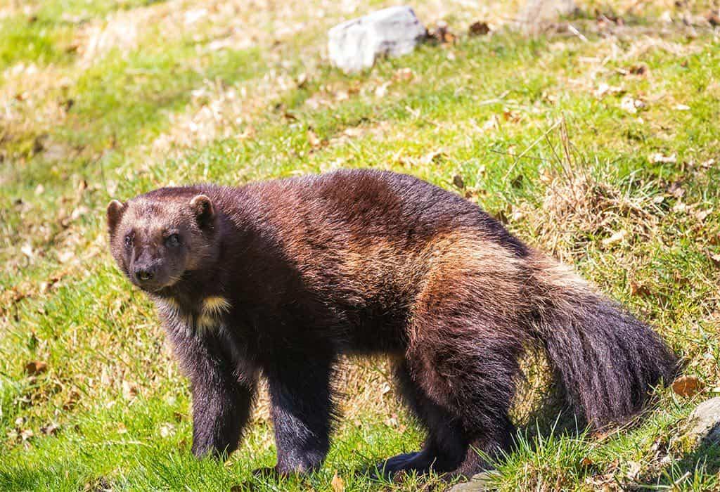 wolverine susanne nilsson flickr wildearth guardians