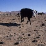 cows george weurthner wildearth guardians