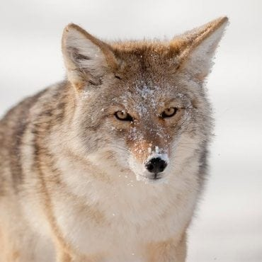 coyote sam parks wildearth guardians