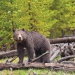 grizz cubs log sam parks wildearth guardians