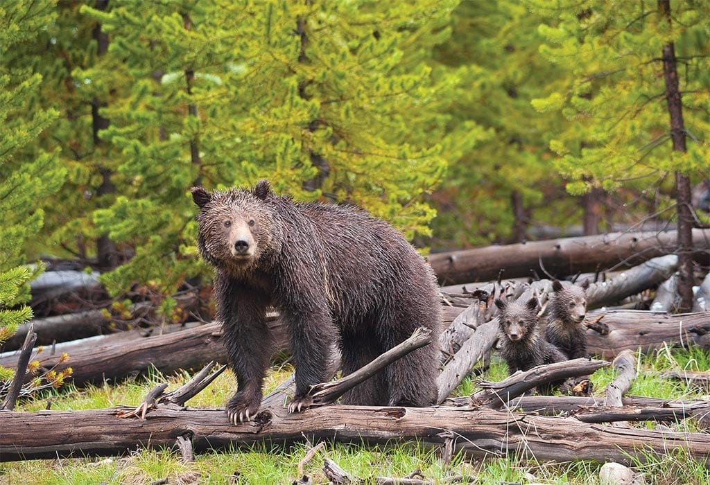 grizz cubs log sam parks wildearth guardians