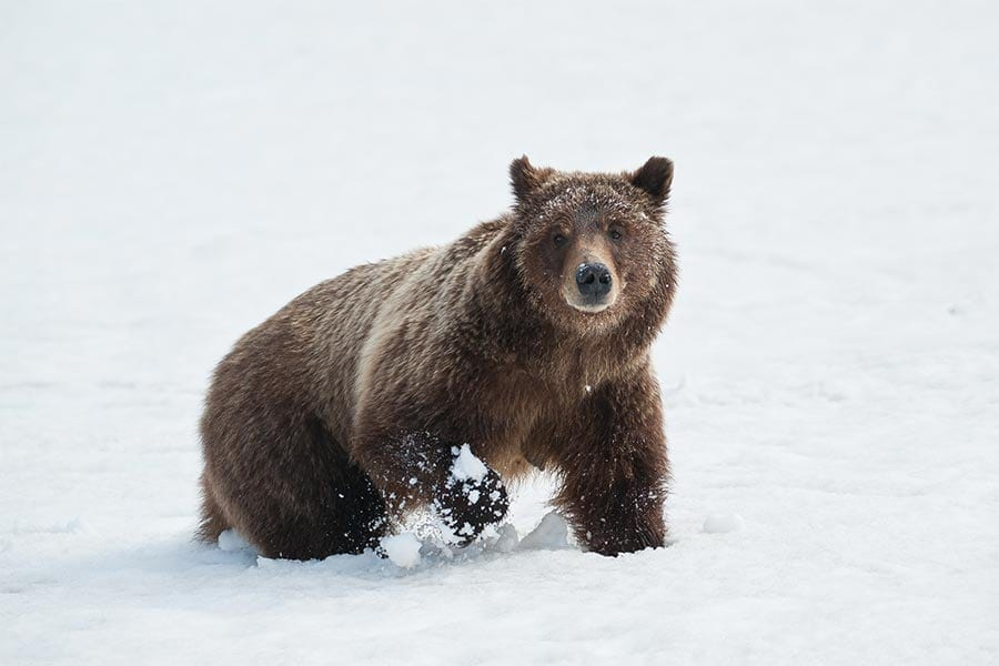 grizzly in snow sam parks wildearth guardians
