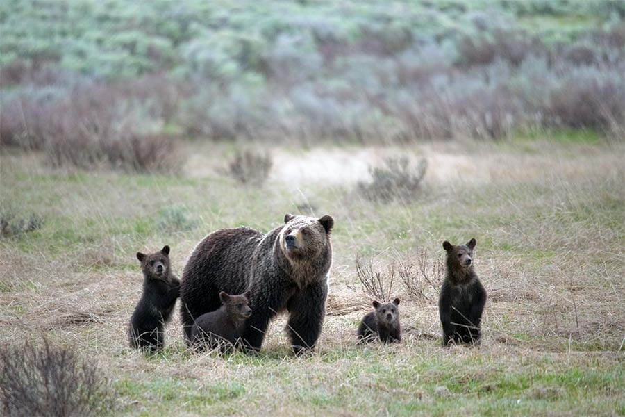 grizzly with cubs sam parks wildearth guardians