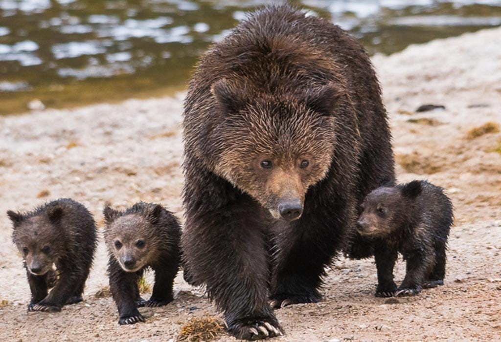 grizzly bears sam parks wildearth guardians