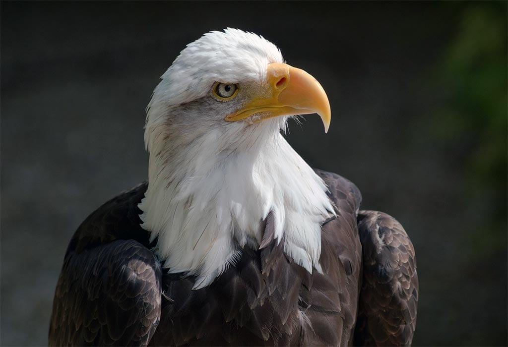 bald eagle wikimedia commons wildearth guardians