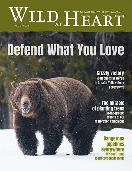 pdf.wildearthguardians.org/flowpaper/newsletter-32-fall-2018/