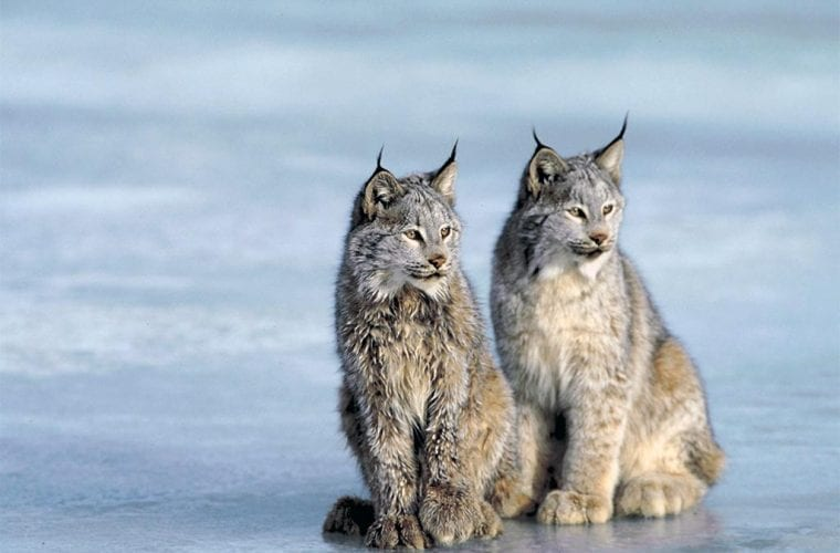 canada lynx photos.com wildearth guardians