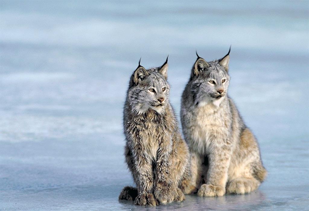 canada lynx photos.com wildearth guardians