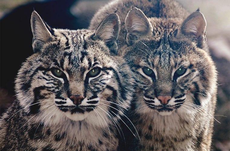 bobcats valerie flickr wildearth guardians
