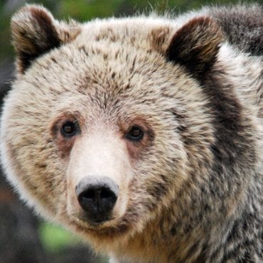 Grizzlies saved from trophy hunt