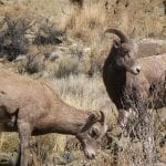 bighorn sheep blm idaho wildearth guardians