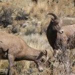 bighorn sheep blm idaho wildearth guardians