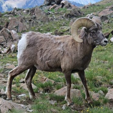 Huge win for bighorn sheep in Idaho