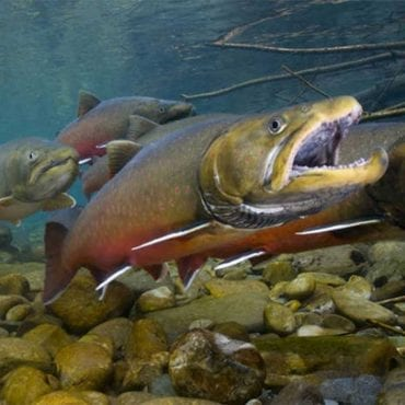 Protecting critical bull trout habitat in Idaho