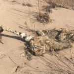 caught bobcat wildearth guardians