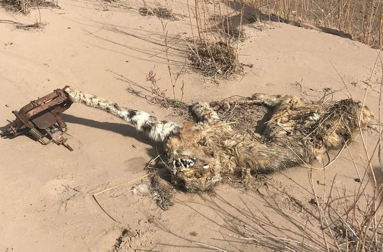 caught bobcat wildearth guardians