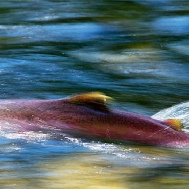 Crucial win for threatened Oregon steelhead and Chinook salmon