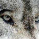 gray wolf eyes valerie flickr wildearth guardians