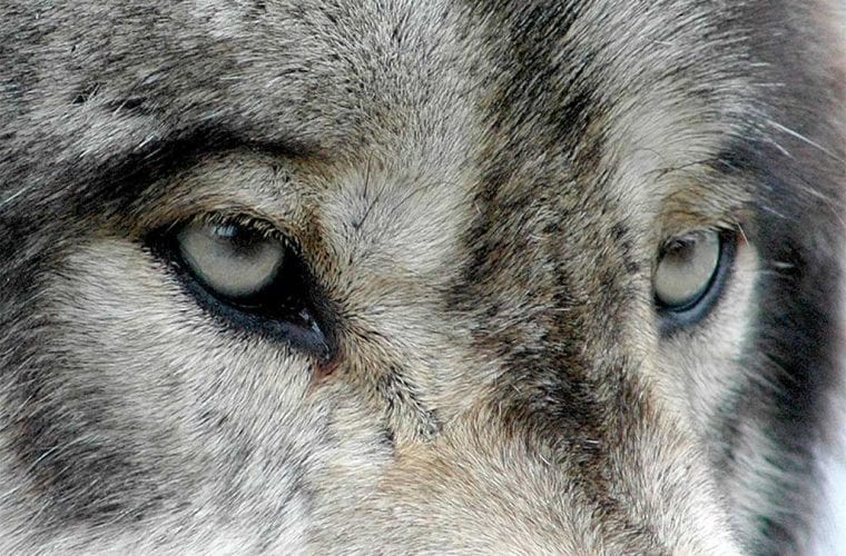 gray wolf eyes valerie flickr wildearth guardians