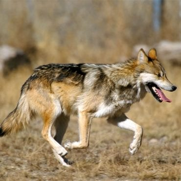Major loss for lobos and other endangered species
