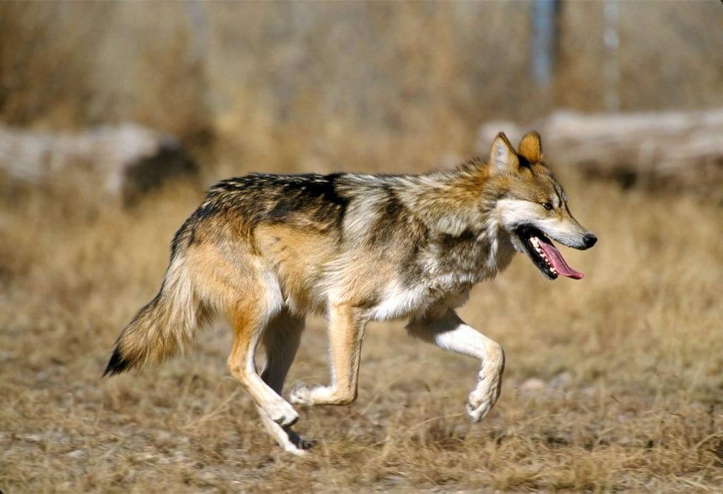 mexican wolf jim clark fws wildearth guardians