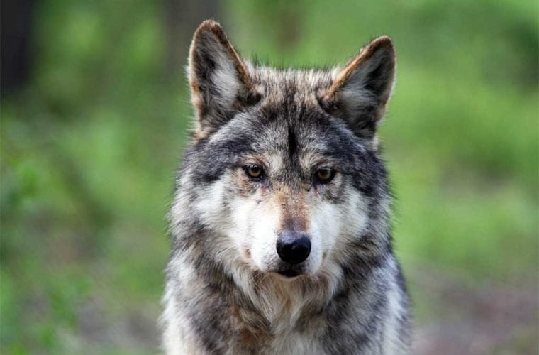 Indiscriminate traps are killing and injuring Mexican wolves
