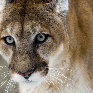Saving bears and cougars from state-sanctioned killing plans